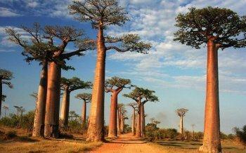 Baobab – Thành Phần Bí Ẩn Nhưng Chứa Công Dụng Tuyệt Vời Trong Làm Đẹp