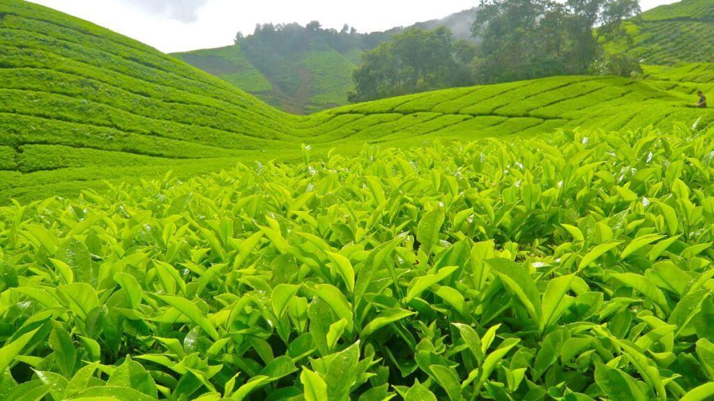 bí quyết ngăn ngừa lão hóa da với trà xanh hiệu quả
